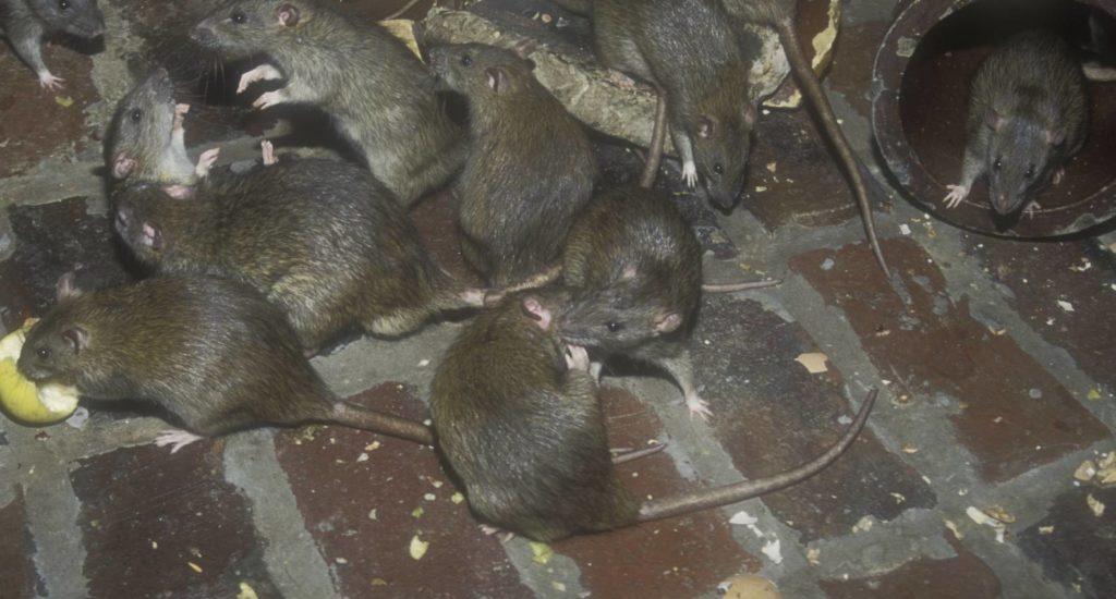 уничтожение крыс в Камышлове